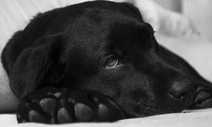 cane depresso da intossicazione