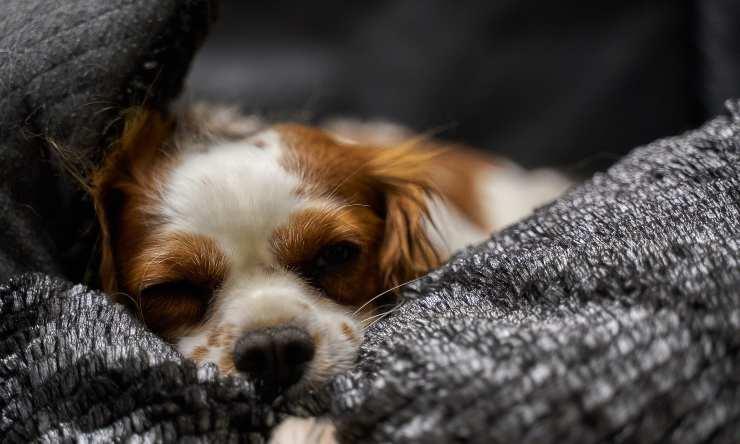 cane dolorante per pancreatite
