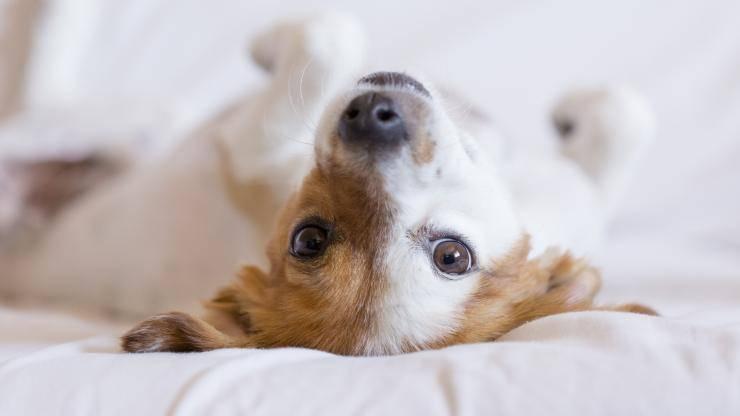 cane impazzisce sul letto