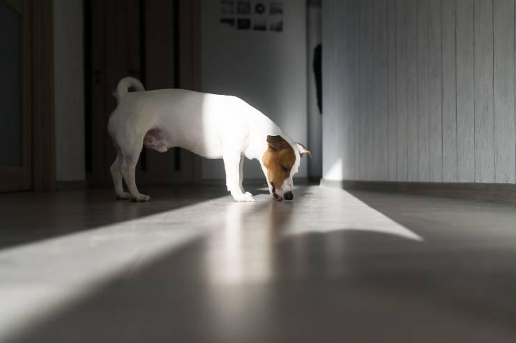 cane lecca pipì