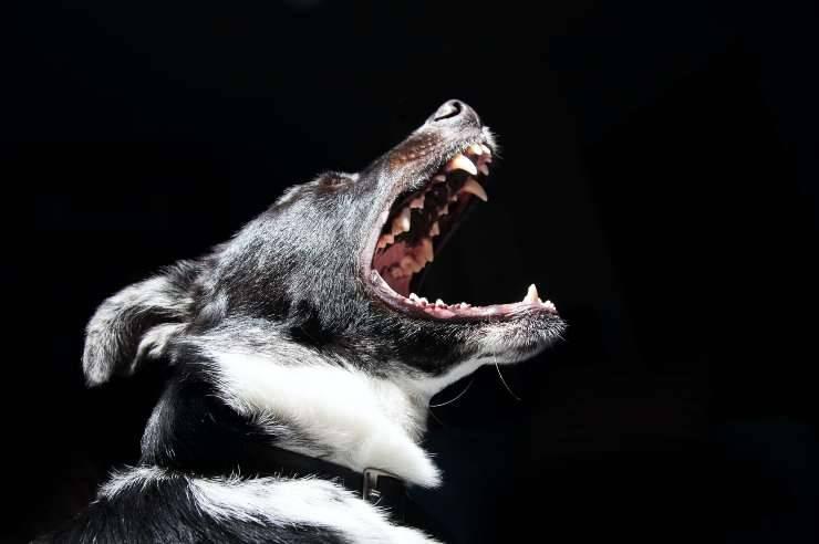 cane ringhia minaccioso