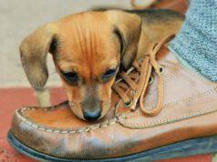cane morde scarpa