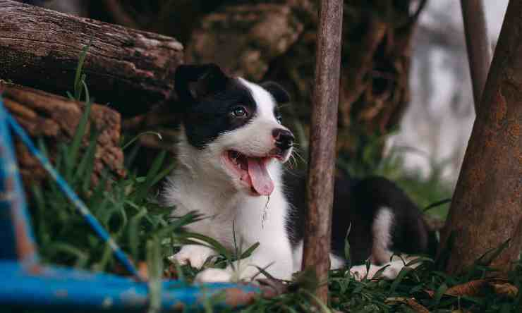 cane scostante si isola