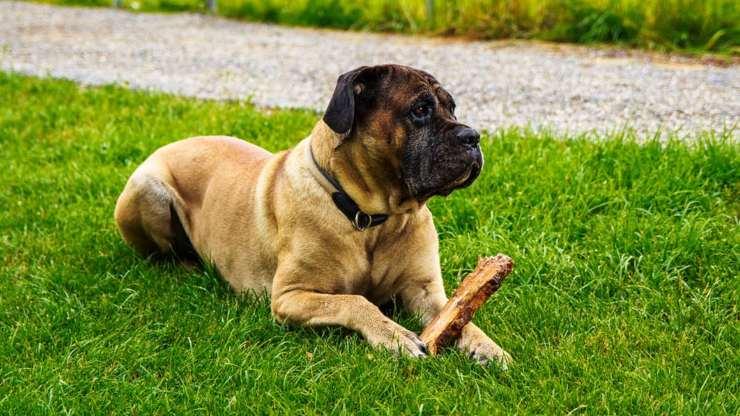 cane corso italiano pulire cura pelo toelettatura