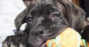 cane corso malattie tipiche comuni condizioni salute