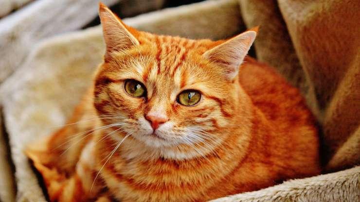 Sguardo triste del gatto (foto Pixabay)