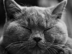 razze di gatti inglesi