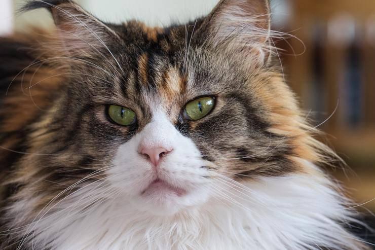 gatto maine coon crescita età gatti smettono crescere