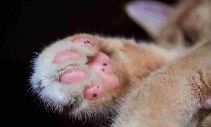 Zampe del gatto (foto Pixabay)