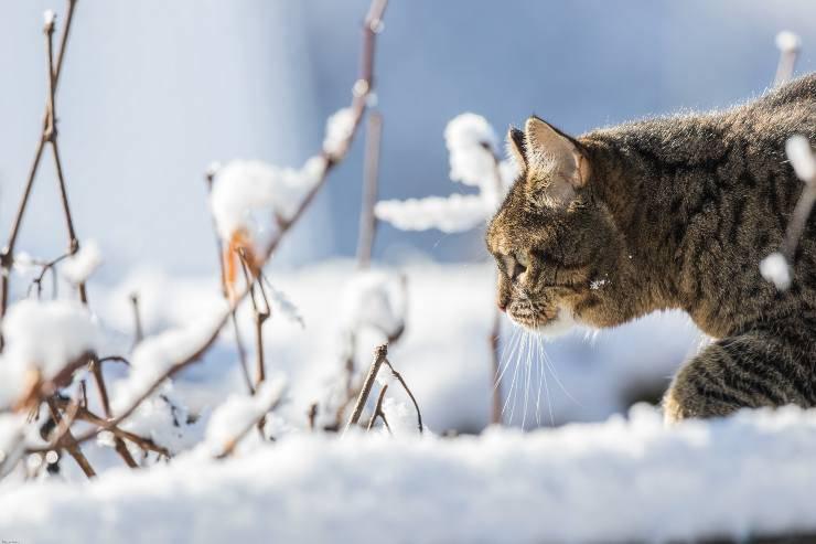I pericoli del gatto sulla neve
