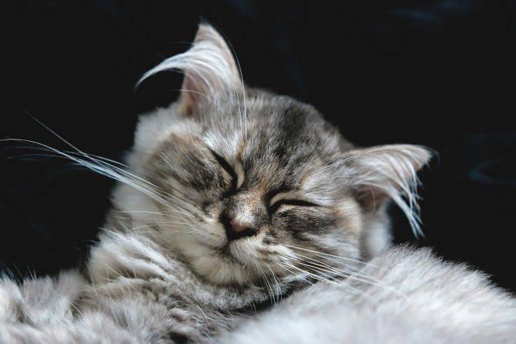 Gatto si gratta le orecchie