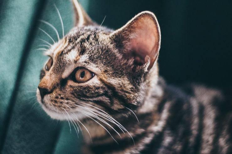 Orecchie del gatto