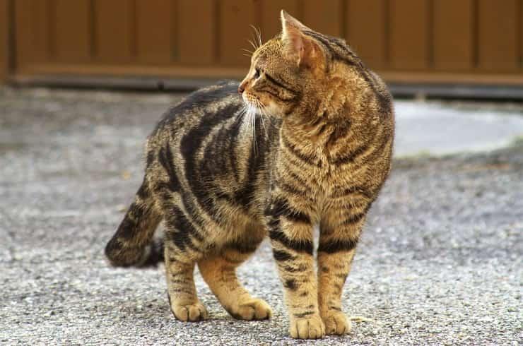 gatto che osserva incuriosito (Foto Pixabay)