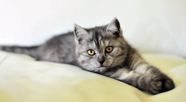 Gatto sdraiato (Foto Pixabay)