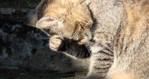 Al gatto trema la testa