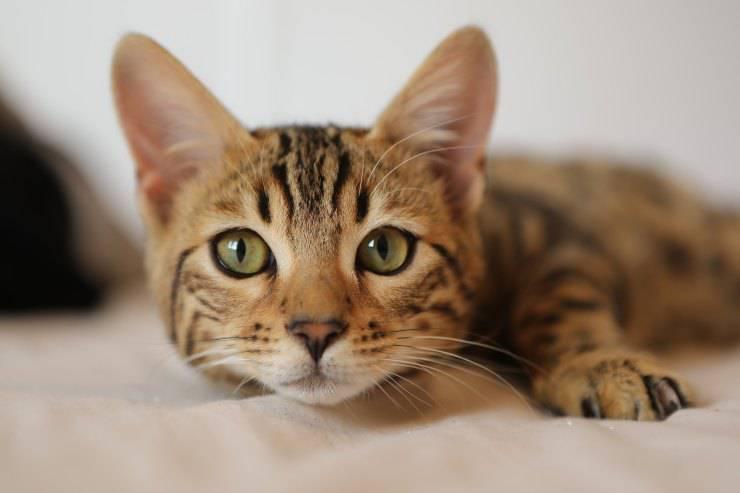 Infiammazione nel gatto