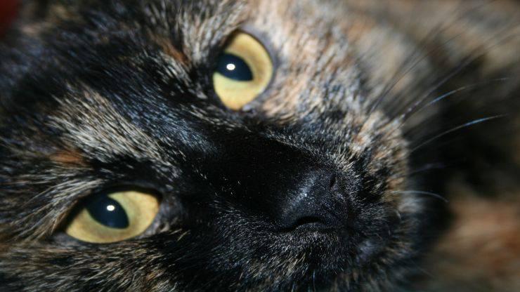Come riconoscere la razza di un gatto