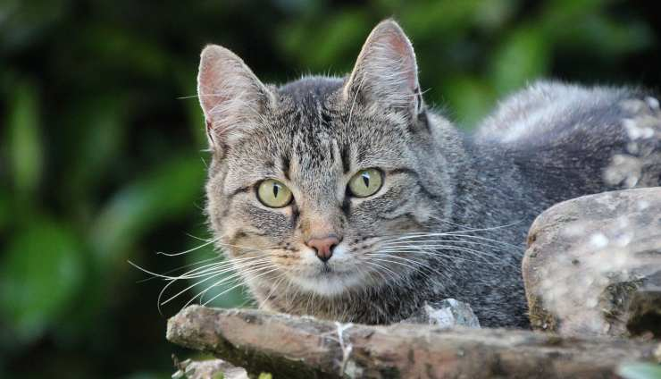Sguardo del felino (Foto Pixabay)