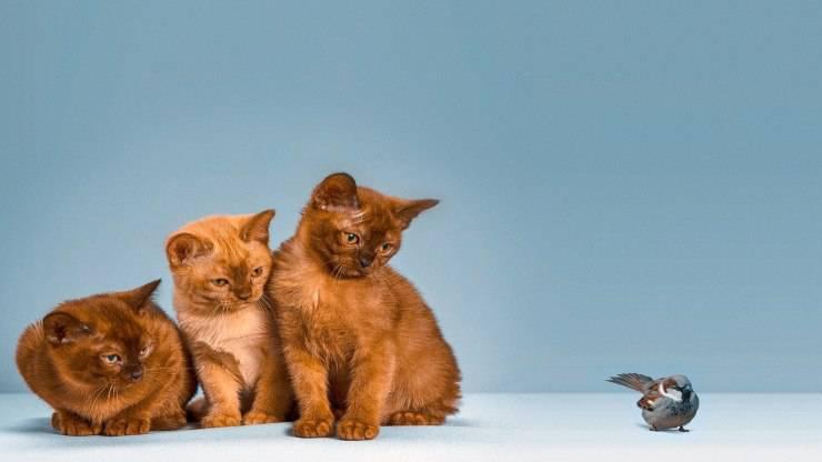 Razze di gatti più tolleranti verso gli altri animali