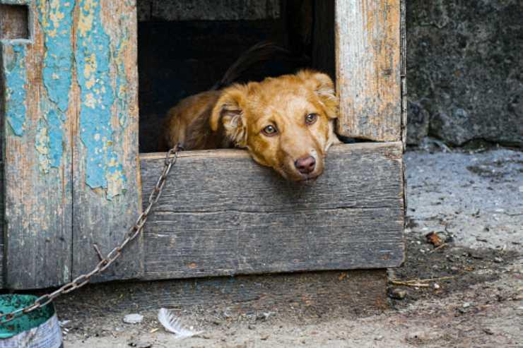 pitbull abbandonato incatenato discarica