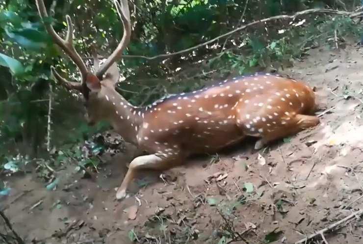 cervo liberato trappola illegale