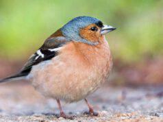 Uccellino in primo piano (foto Pixabay)