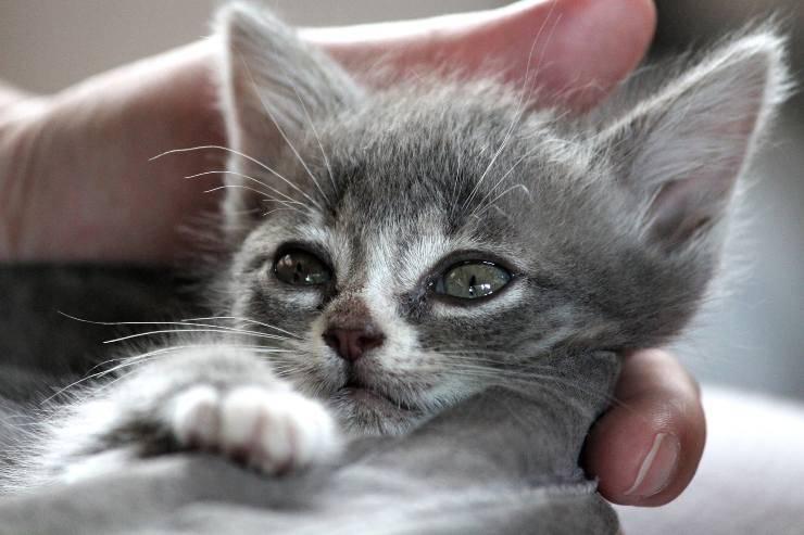 il gatto e l'infiammazione