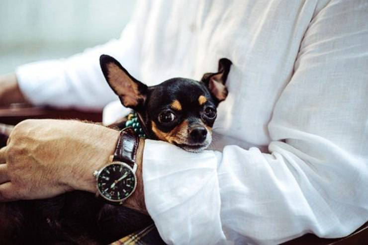 chihuahua cane cura pelo toelettatura bagnetto