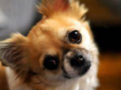 chihuahua alimentazione cane mangiare dieta
