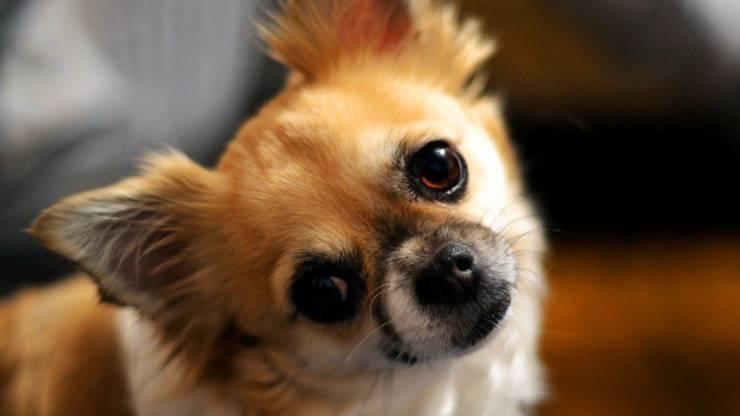alimentation chien chihuahua manger régime
