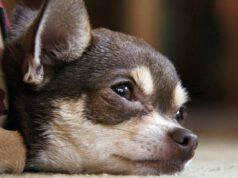 chihuahua malattie comuni problemi salute
