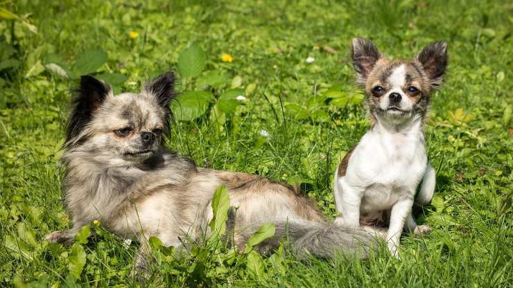 razze cani compatibili con chihuahua