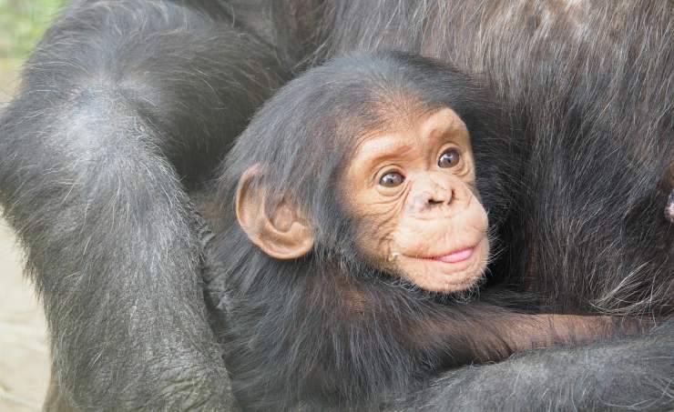 Scimpanzè tra le braccia della madre (Foto Pixabay)
