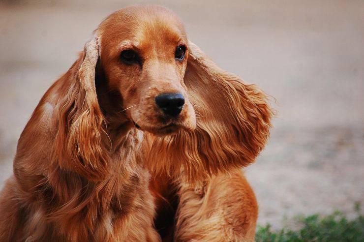 Razze di cani da salvataggio da terremoto