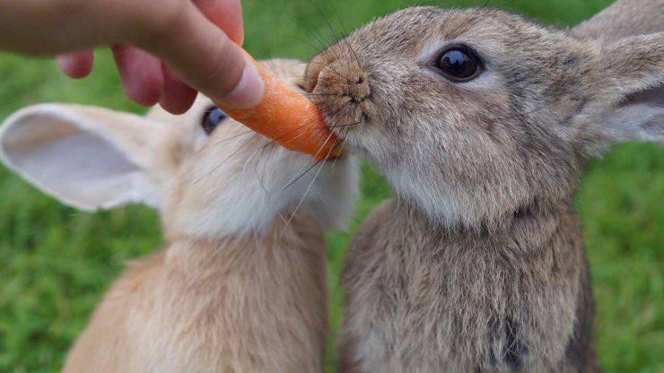 Il coniglio può mangiare le carote