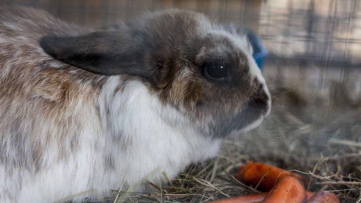 Coniglietto carote