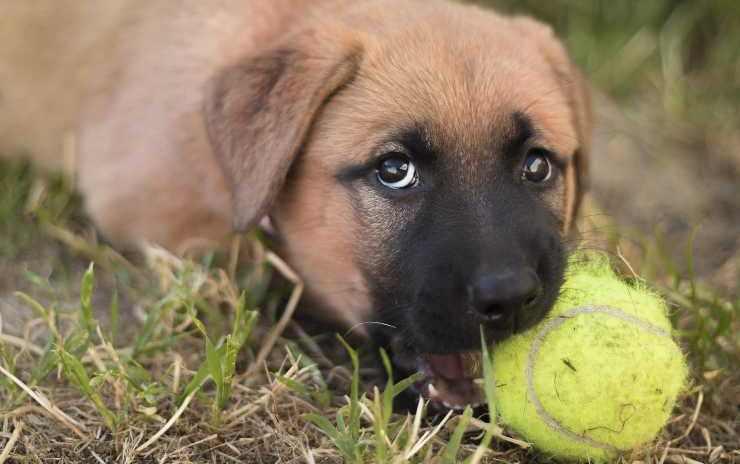 cucciolo con palla