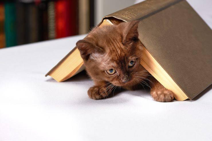 Il gatto si strofina sugli oggetti