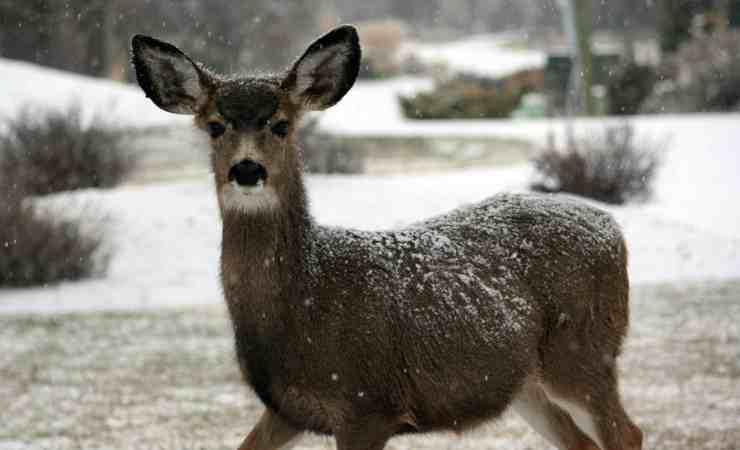 Il cervo curioso (Foto Pixabay)