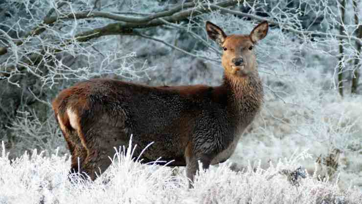 Il cervo nel paesaggio innevato (Foto Pixabay)