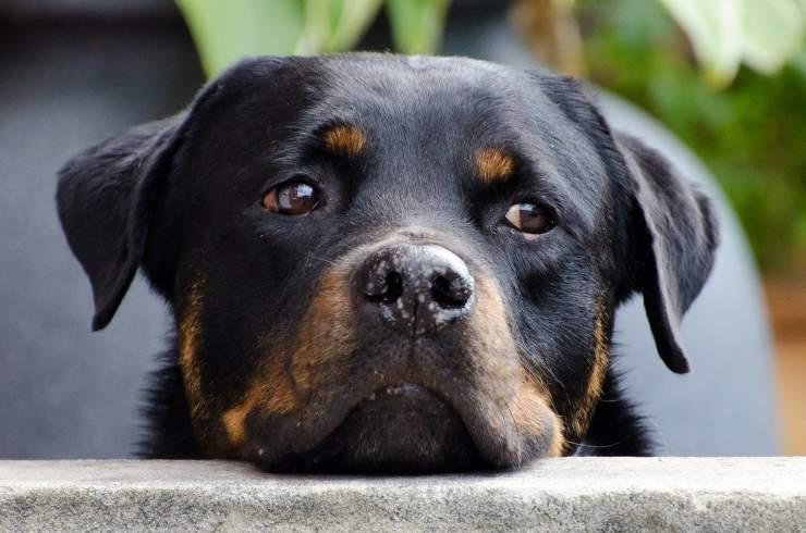 cane rifiuta salire auto proprietari