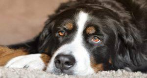 Gravidanza indesiderata nel cane