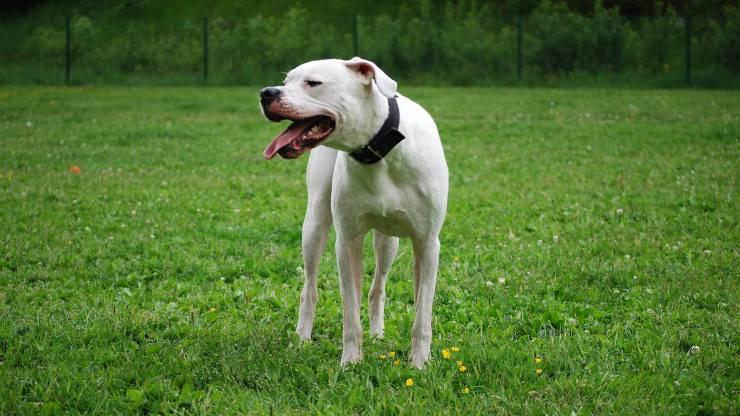 cane dogo argentino malattie predisposizioni salute