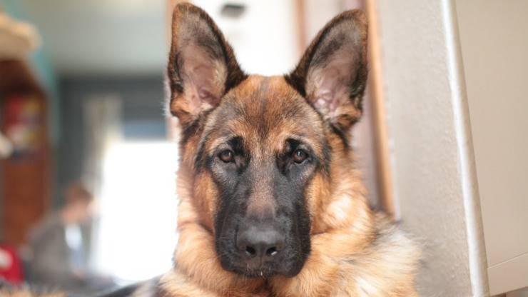 cane perde pelo perdita pastore tedesco rimedi naturali