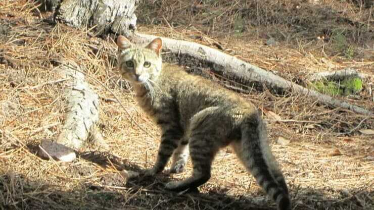 Gatto selvatico sardo vive soltanto in Sardegna
