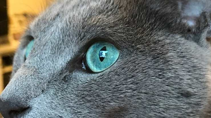 forme e colori degli occhi dei gatti
