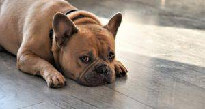 bulldog francese malattie comuni salute