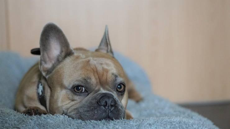 Bulldog francese curiosità