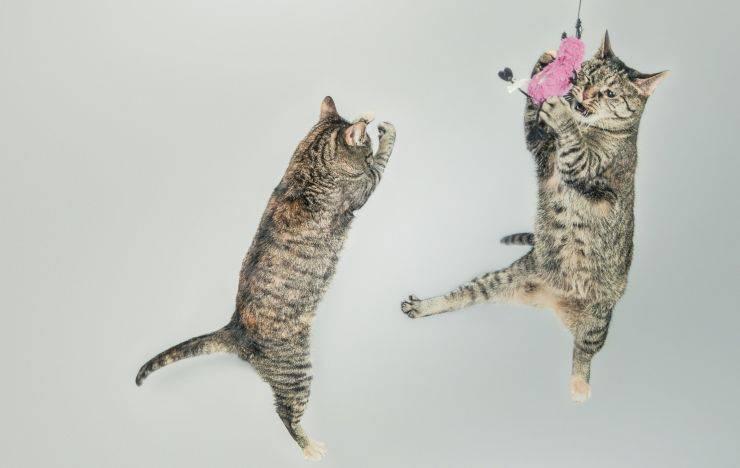 gatti saltano
