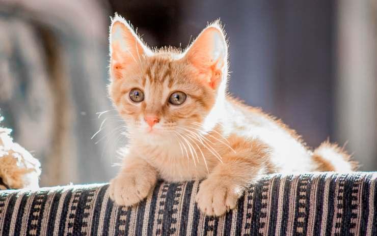 gatto salta su divano